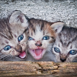 by Eduard Andrica - Animals - Cats Kittens