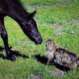 Horse and Cat by Denise Johnson - Animals Horses ( animals, cat, equine, horses, black and white, horse, black, animal,  )
