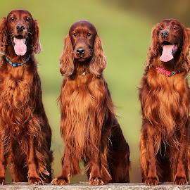 Meet the Boy's by Ken Jarvis - Animals - Dogs Portraits ( dogs, irish setter, irish, portraits )