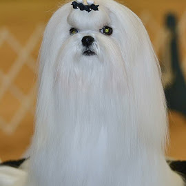 Adele by Carole Merz - Animals - Dogs Portraits ( champion, toy dog, maltese, precious, white, dog portrait )