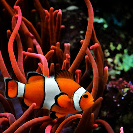 Amphiprioninae by Claudiu Petrisor - Animals Fish ( amphiprioninae, fish, aquarium, koln, germany )