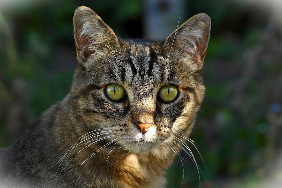 Little Huntress by Greg Van Dugteren - Animals - Cats Portraits ( look, cats eyes, cat, tabby cat, feline, tabby, domestic, domestic cat )