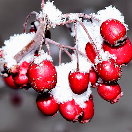 Mountain ash berries. by Denton Thaves - Nature Up Close Trees & Bushes ( mountain ash berries )