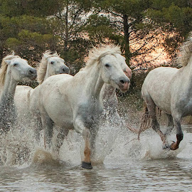 Group of galloping mares by Helen Matten - Animals Horses ( galloping, mares, of, wild, horses, marshes, white, south, france, sunrise )