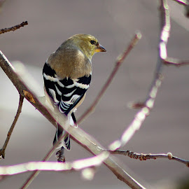 Female Finch by Jim Wheelock - Animals Fish ( bird, nature, outdoors, finch, animal,  )