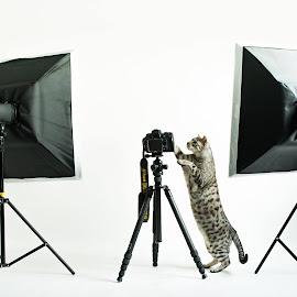 Bengal by Robert Paulsen - Animals - Cats Portraits ( studio, flash, cat, camera, bengal )