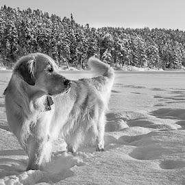 Golden retriever on ice by Ewa Nilsson - Black & White Animals ( goldenretriever, winter, scandinavia, lapland, ice, snow, golden )