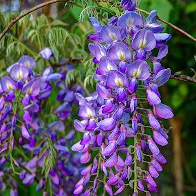 Wisteria Season by Elk Baiter - Flowers Flowers in the Wild ( wild, nature, purple, wisteria, flowers,  )
