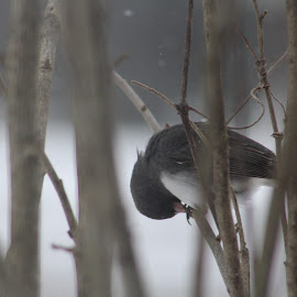 Morning Prayers by Margaret Honnold - Novices Only Wildlife ( prayer, junco, pearched, machonnoldphotos, birds )