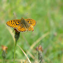 Lesser Marbled Fritillary