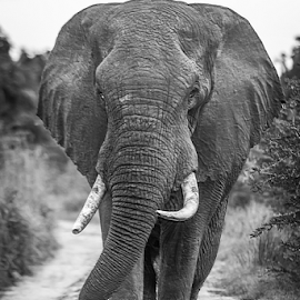 the Walk by Wim Moons - Black & White Animals