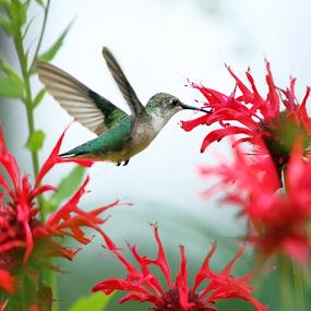 Hummer in the Garden by Skip Spurgeon - Animals Birds ( humming bird, ruby-throated humming bird, beebalm, bee balm, red flower )