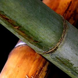 Colorful Living Bamboo by David Walters - Nature Up Close Other plants ( nature, lumix fz200, japeneese garden bridge, bamboo garden )