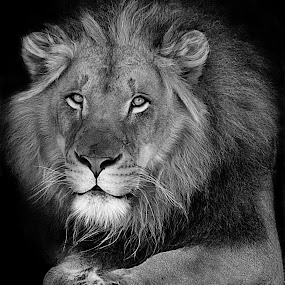 Lion Fade by Shawn Thomas - Black & White Animals ( pride, predator, lion, cat, carnivore, mane, wildlife, king, large )