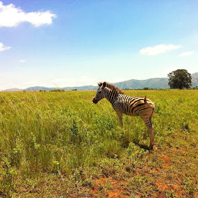 Zebra Calf by Gareth  Evans - Instagram & Mobile iPhone ( zebra calf africa wild animal nature outdoors blue sky )