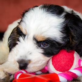 Puppy love by Michael Payne - Animals - Dogs Puppies ( cockapoo, bitch, puppy )