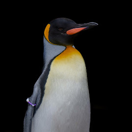 King penguin  by Sharon Naylor - Animals Sea Creatures