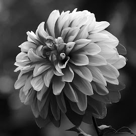Dahlia  by Asif Bora - Black & White Flowers & Plants (  )