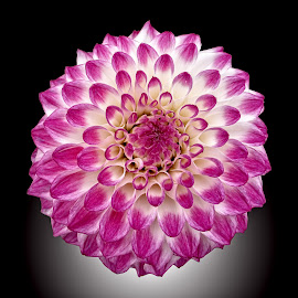 AYLI dahlia 41 17 by Michael Moore - Flowers Single Flower