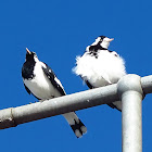Peewee (male & female)