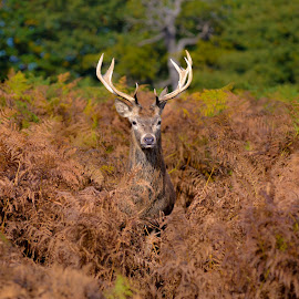 Hide and seek by Toni Mares - Animals Other Mammals ( animals, nature, london, buck, camouflaged, hiden, richmond park, deer, hide and seek )
