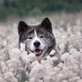 Artoszek by Magdalena Sikora - Animals - Dogs Portraits ( brindle akita, brindle dog, dog portait, akita inu, akita in flowers )