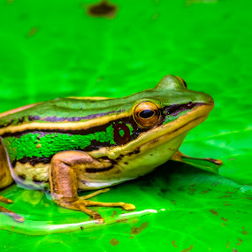 Somehow he looks sad by Fotugraphar Quazi - Animals Amphibians ( frog green )