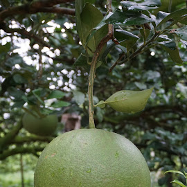 just pomelo by Mary Yeo - Nature Up Close Gardens & Produce