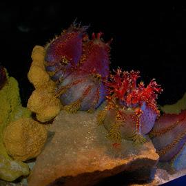 Sea Cucumber by Philip Molyneux - Animals Sea Creatures (  )