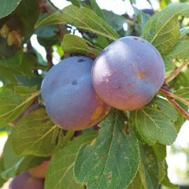 Plums by Rachel Popowski - Nature Up Close Gardens & Produce