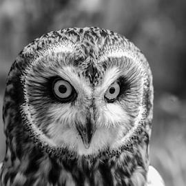 Big eyes by Garry Chisholm - Black & White Animals ( raptor, bird of prey, nature, short eared owl, garry chisholm )