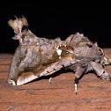 Large Noctuid Moth