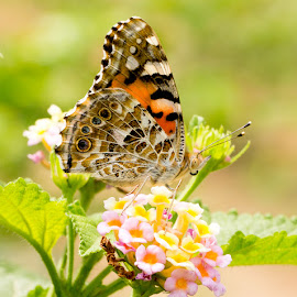 Painted Lady (Vanessa cardui) by VoiceofCamera VOC - Animals Insects & Spiders ( canon, canon 6d, voiceofcamera, painted lady (vanessa cardui), painted, painted lady, macro photography, voiceofcamera.com, trending #1, lady butterfly, butterfly of asola, asola butterfly, macro world )