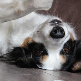 Dino op zijn rug by Debby Emmerig - Animals - Dogs Portraits