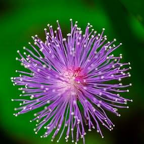 Twinkling light  by Fotugraphar Quazi - Nature Up Close Flowers - 2011-2013