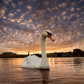Sunset over the Pond by Adrian Campfield - Animals Birds ( clouds, water, uk, lakes, reflections, wildlife, feathers, birds, shadows, city, urban, ponds, england, mute swan, sky, nature, hyde park, london, sunset, wings, parks, silhouettes, wet, evening )