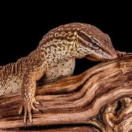 Monitor by Garry Chisholm - Animals Reptiles ( macro, lizard, nature, reptile )