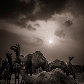 Pushkar Camel Fair by Vyom Saxena - Animals Other Mammals ( pushkar, pushkar camel fair, camel fair rajasthan, pushkar rajasthan, pushkar india )