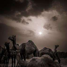 Pushkar Camel Fair by Vyom Saxena - Animals Other Mammals ( pushkar, pushkar camel fair, camel fair rajasthan, pushkar rajasthan, pushkar india )