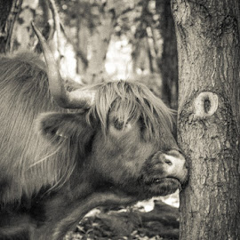 Moo by Nic Evennett - Animals Other