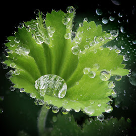 Lady's Mantle by Millieanne T - Nature Up Close Natural Waterdrops