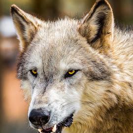 Grey Wolf by Dave Lipchen - Animals Other Mammals ( grey wolf )
