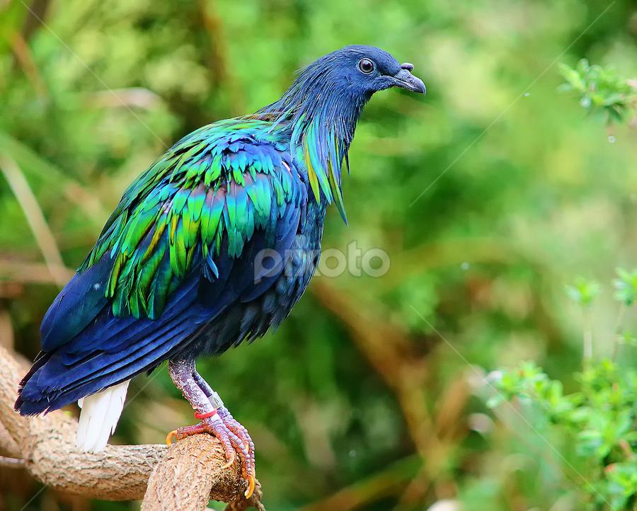 Pigeon de Nicobar by Gérard CHATENET - Animals Birds