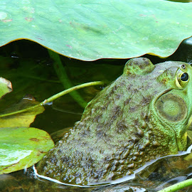 The frog by John Forrant - Animals Amphibians