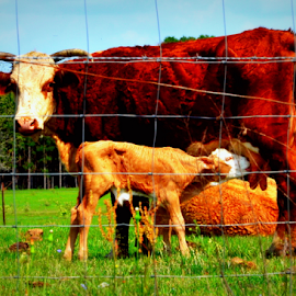 Mama and baby by Pam Satterfield Manning - Animals Other Mammals ( animals, other mammals, mothers, horns, tails, colorful, mother and baby, colors, calf, moo, cattle, cows, eyes, nurse, fur, brown, baby, tan,  )
