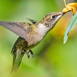 Hummingbird Feeding on Jewel Weed.jpg