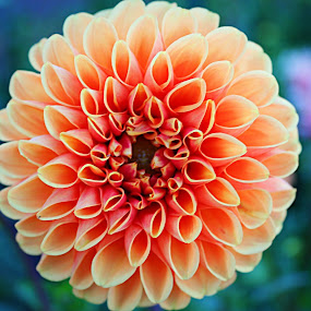 Orange dahlia by Danielle Royer - Flowers Single Flower ( orange, macro, bloom, garden, flower,  )