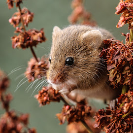 Mouse by Garry Chisholm - Animals Other Mammals ( mice, garry chisholm, mouse, nature, wildlife, rodent )