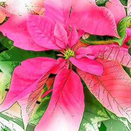 by Clara Scarano Scubla - Digital Art Things ( pink flower, poinsettia, photo stream, flower )