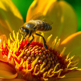 Sept 14 Stripped Bee on a Yellow Flower.jpg